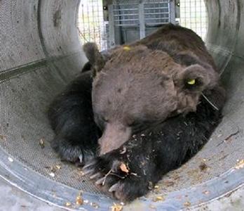 Brigitte Bardot attacca Fugatti per il trattamento degli orsi in Trentino