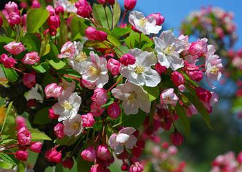 l Crab Apple uno dei fiori di Bach dalla più vasta applicazione