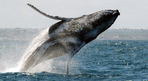 Padre e figlia in canoa finiscono sul dorso della balena