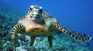 Un'enorme tartaruga marina mangia sul fondale