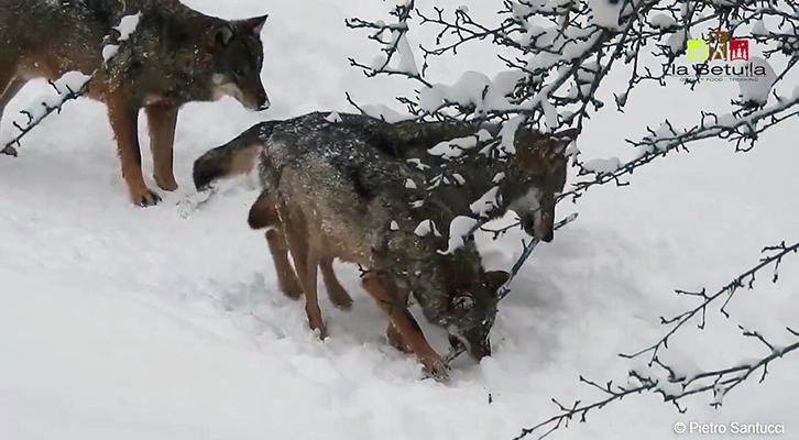 Lupi nella neve <br>nel Parco Nazionale d'Abruzzo