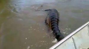 Amazzonia. Una anaconda presa per la coda mentre digerisce un capivara