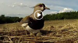 Mamma Coraggio protegge il nido con le sue uova, anche davanti al mostro d'acciaio