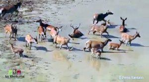 Il bagno dei cervi nel Parco Nazionale d'Abruzzo