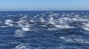 La corsa di 300 delfini a largo di Dana Point in California