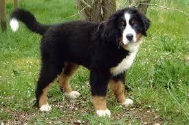 Cucciolo di Bovaro del Bernese
