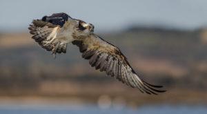 La pesca del Falco Pescatore su Video Natura