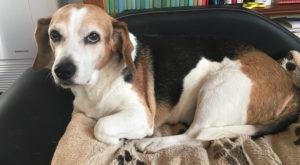 In memoria del mio cane Attila. Era un incrocio beagle