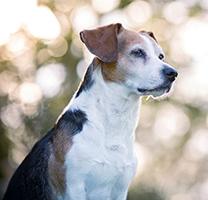 In memoria del mio amato Attila, un incrocio beagle dalla vivace intelligenza