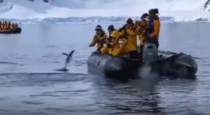 Il pinguino salta sul canotto e sfugge alle orche