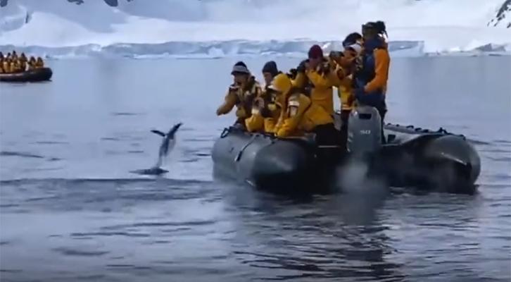 Il pinguino in fuga <br>dalle orche