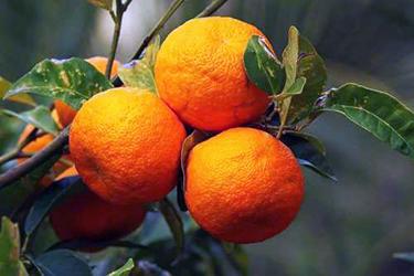 I benefici dell'olio essenziale di arancio amaro