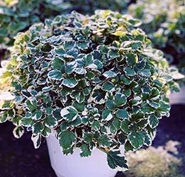 La pianta di Boswelia carterii dalla quale si ricava l'incenso
