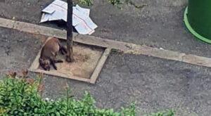 Cinghiali in città. Il cucciolo morto in via Igea