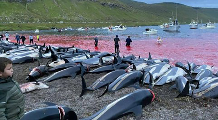 Isole Faroe, quell'orribile e assurda mattanza di delfini
