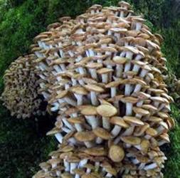 Il fungo Chiodino