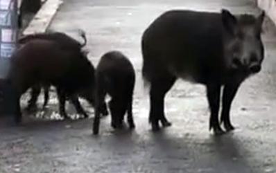 I cinghiali a Roma fanno litigare Raggi e Zingaretti